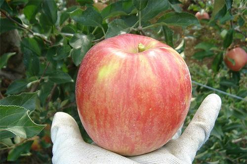 なぜ南信州のりんごは甘いの?